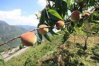 鮮採水蜜桃