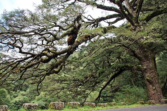 千年大鐵杉