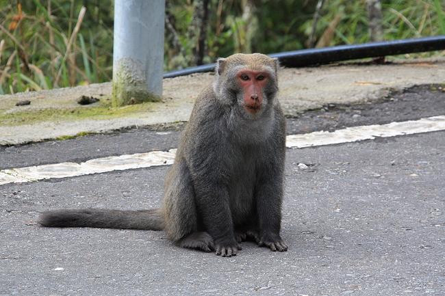 新中橫賞猴