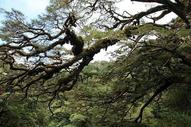 大鐵杉蒼勁的樹型
