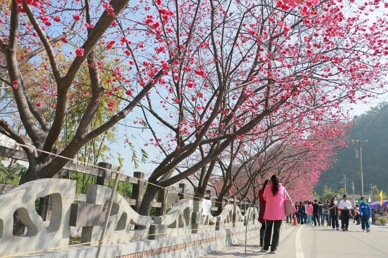 后里泰安櫻花季