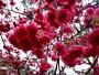 山林松境(櫻花)