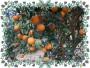 *各品種柑橘*A區