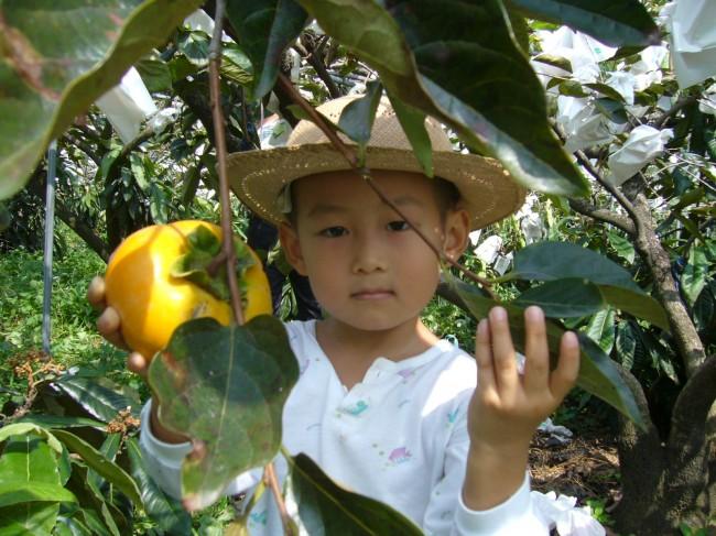 心禾园东势观光果园 蜜梨 日本超大梨 甜柿 枇杷 心禾园相本