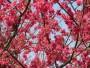 2012新社櫻花祭