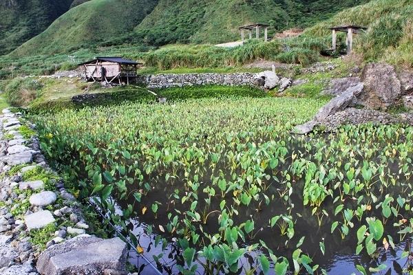 the plantation of taros