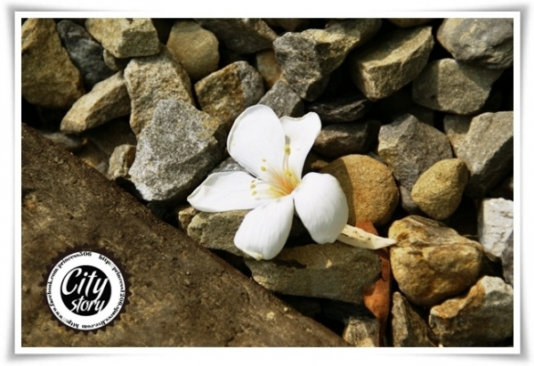 到落在石頭旁的雪白桐花