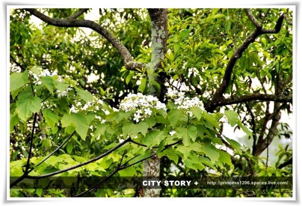 在樹上了桐花 幸福綻放