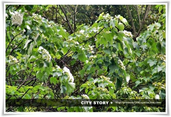 桐花和著綠葉高聲歌唱