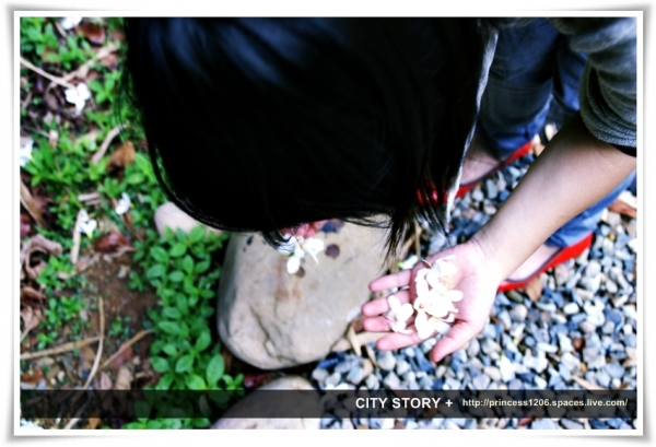 撿在地上的桐花